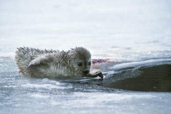 Born on ice: this seal pup, named Voitto (Victor) was born in a winter with little snow, so its mother couldn't dig a lair. - Photo: Juha Taskinen