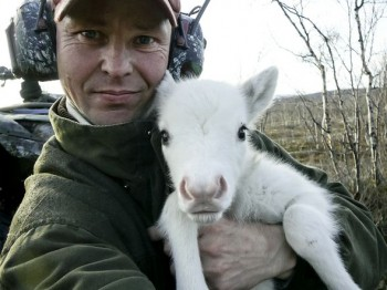 New life in the fells: Oula Valkeapää with a young reindeer (May, 2005)
