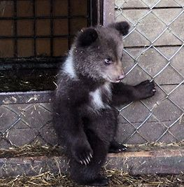 A bear pose: a small bear at the Kuusamo Predator Centre. Photo: Pasi Jäntti