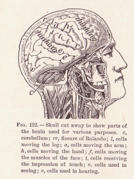 Brains at work. (Alvin Davison, 'The Human Body and Health', 1908) Wikimedia