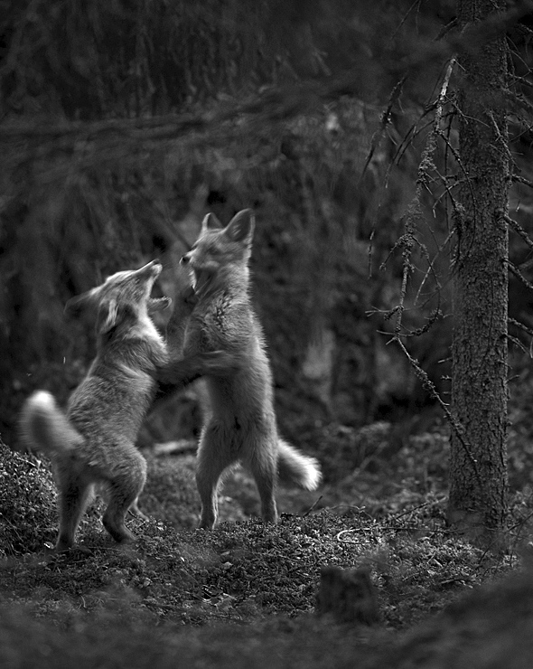 Fox cubs, Finland. Photo: Heikki Willamo