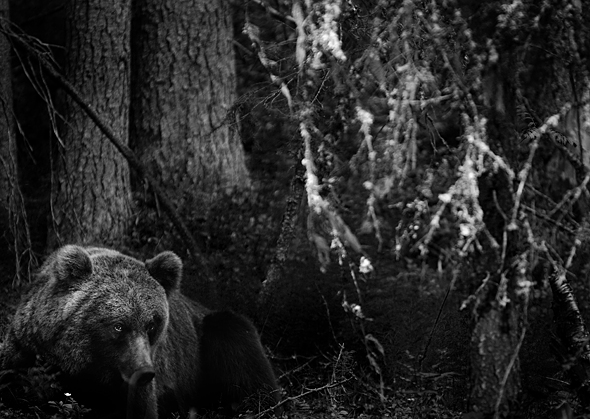 Bear, Finland. Photo: Mats Andersson